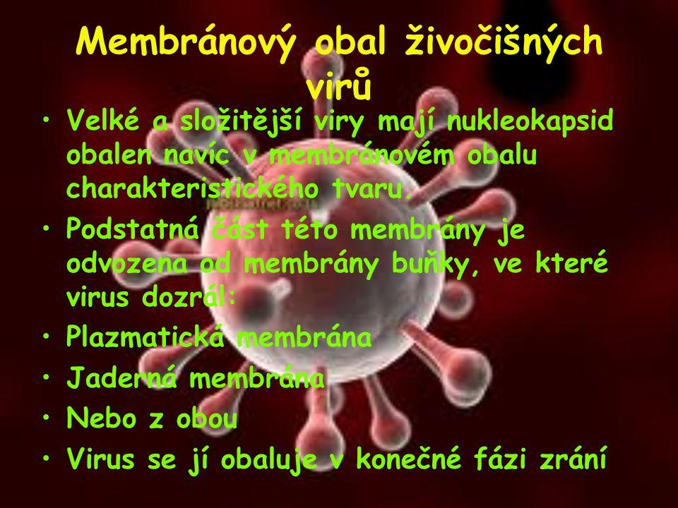 Membránový obal živočišných virů Velké a složitější viry mají nukleokapsid obalen navíc v membránovém obalu charakteristického tvaru. Podstatná část t