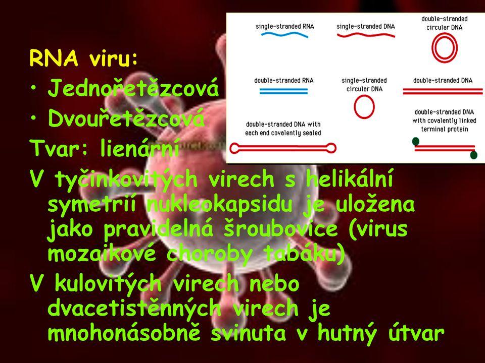 RNA viru: Jednořetězcová Dvouřetězcová Tvar: lienární V tyčinkovitých virech s helikální symetrií nukleokapsidu je uložena jako pravidelná šroubovice