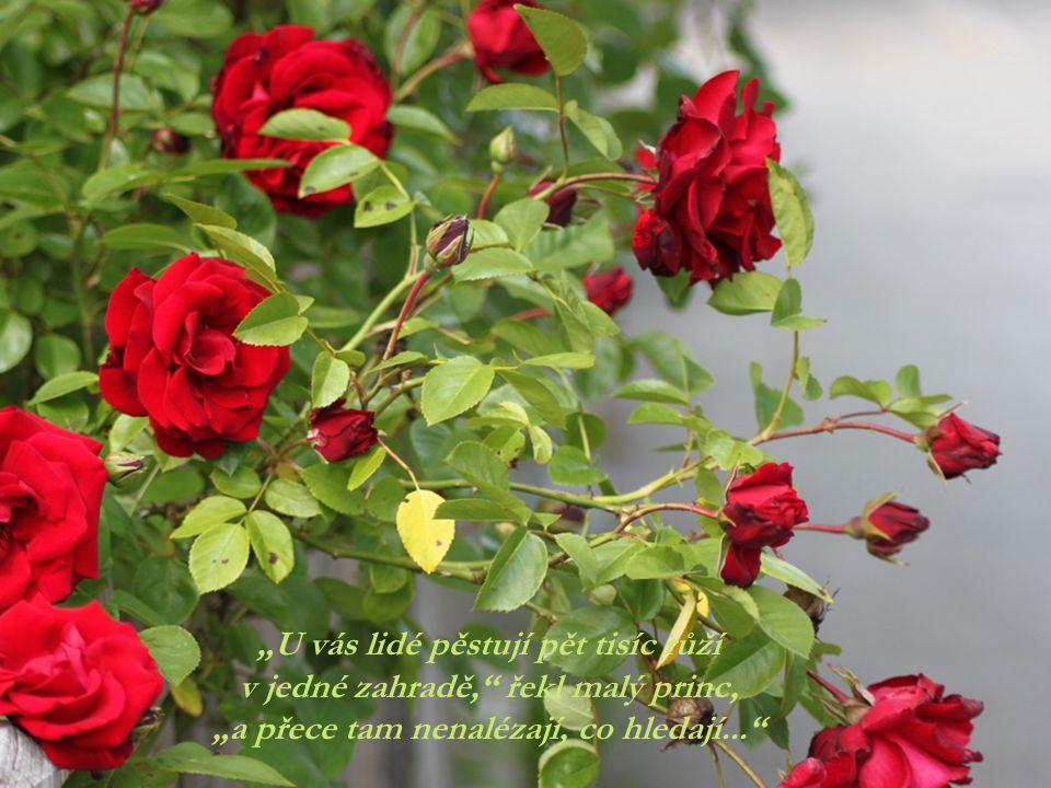 """""""U vás lidé pěstují pět tisíc růží v jedné zahradě, řekl malý princ, """"a přece tam nenalézají, co hledají..."""