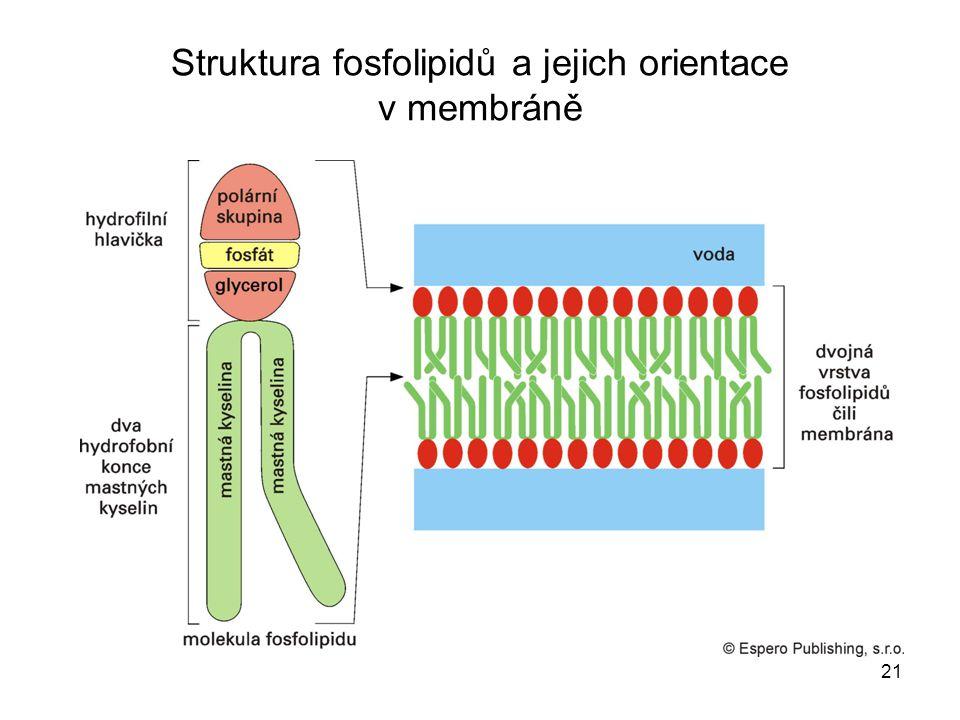 21 Struktura fosfolipidů a jejich orientace v membráně