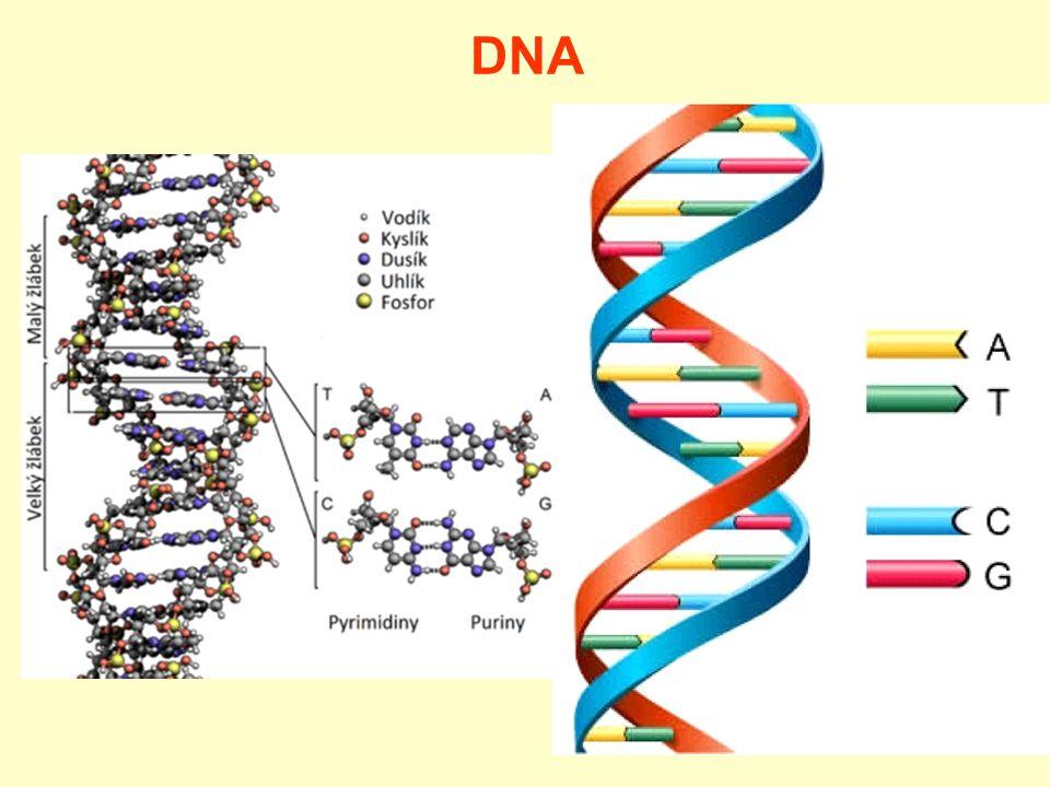 Přírodní látky DNA –úsek kódující určitou informaci = gen –spolu s bílkovinami a dalšími látkami → chromozomy –při dělení buněk dochází k replikaci = zdvojení DNA (rozpletení původní dvoušroubovice, vytvoření nové kopie a její spletení) –genetická informace o jedinci je v DNA každé buňky těla → využití v kriminalistice