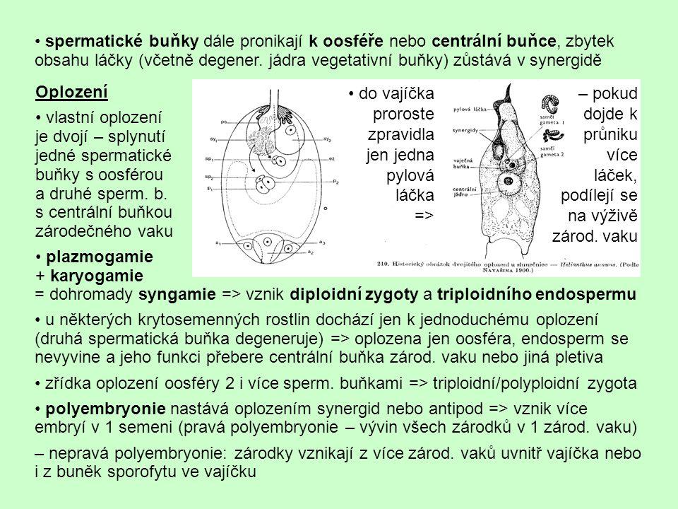 spermatické buňky dále pronikají k oosféře nebo centrální buňce, zbytek obsahu láčky (včetně degener. jádra vegetativní buňky) zůstává v synergidě = d