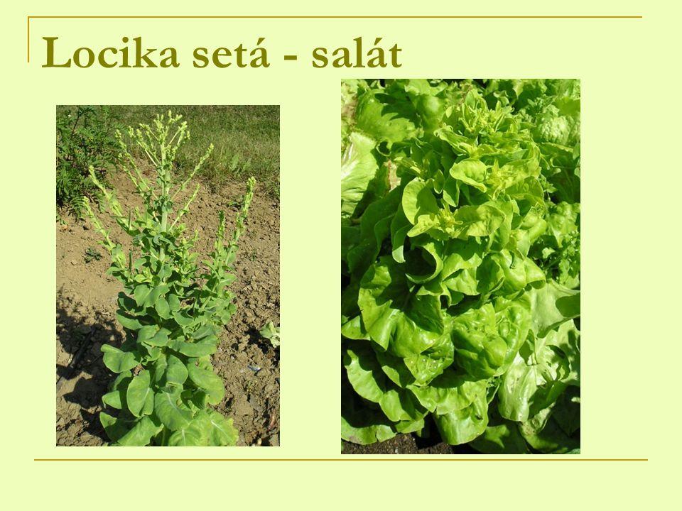 Locika setá - salát