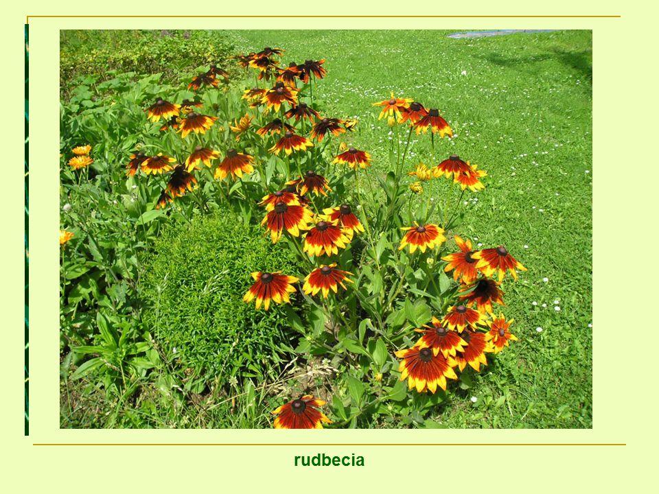 rudbecia