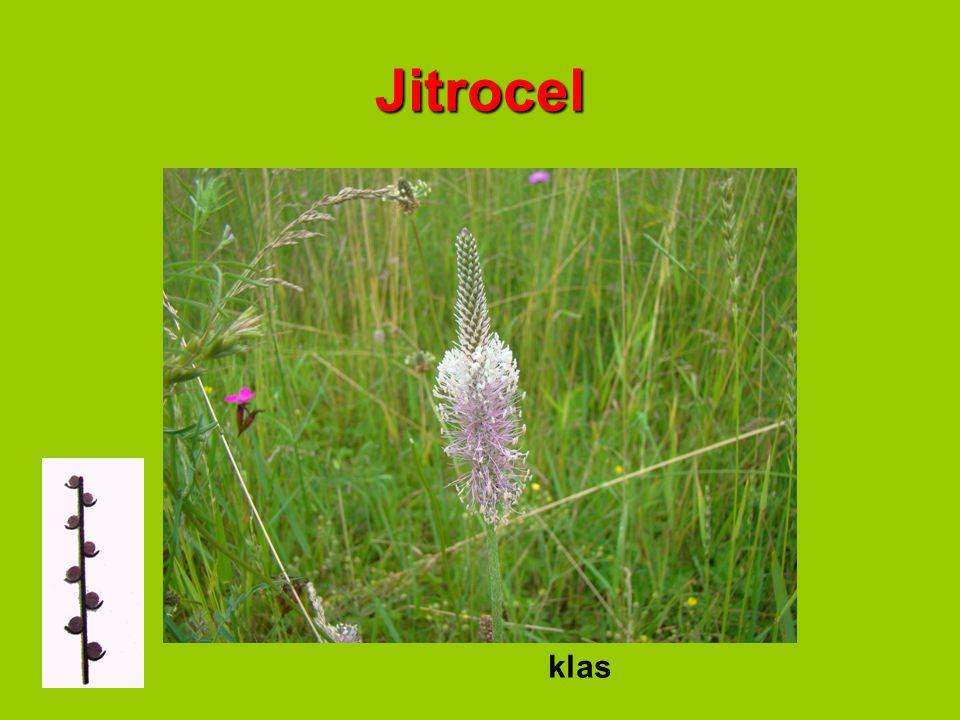 Jitrocel klas