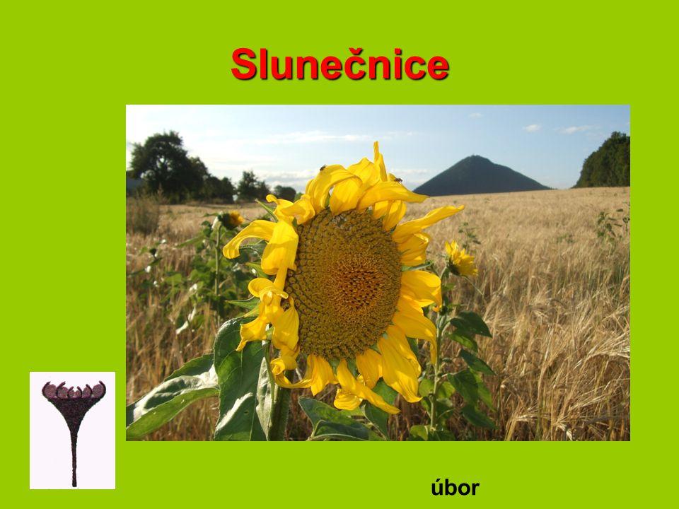 Slunečnice úbor