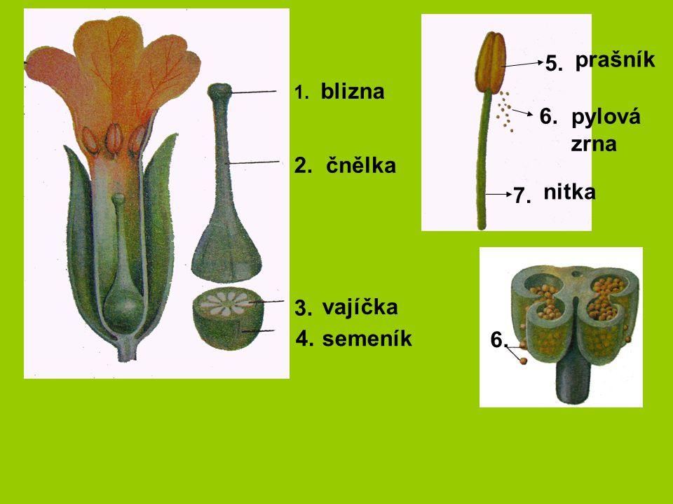 1. 2. 3. 4. 5. 6. 7. 6. blizna čnělka vajíčka semeník prašník pylová zrna nitka