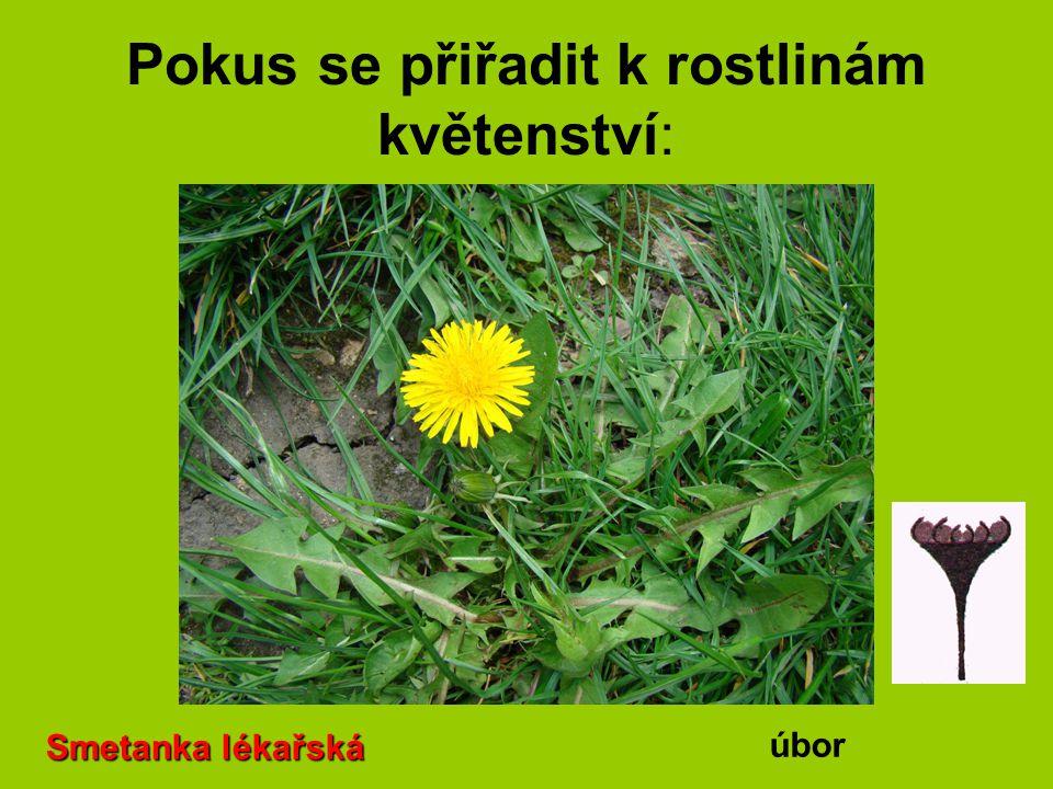 Pokus se přiřadit k rostlinám květenství: Smetanka lékařská úbor