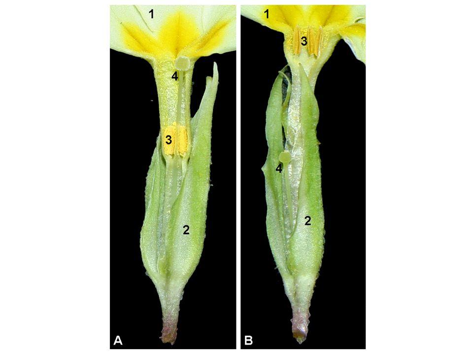 Mechanismy přenosu pylu 1.anemogamie 2.entomogamie 3.hydrogamie KVĚT