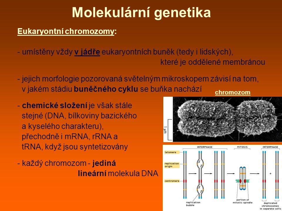 Molekulární genetika Eukaryontní chromozomy: - umístěny vždy v jádře eukaryontních buněk (tedy i lidských), které je oddělené membránou - jejich morfologie pozorovaná světelným mikroskopem závisí na tom, v jakém stádiu buněčného cyklu se buňka nachází - chemické složení je však stále stejné (DNA, bílkoviny bazického a kyselého charakteru), přechodně i mRNA, rRNA a tRNA, když jsou syntetizovány - každý chromozom - jediná lineární molekula DNA chromozom