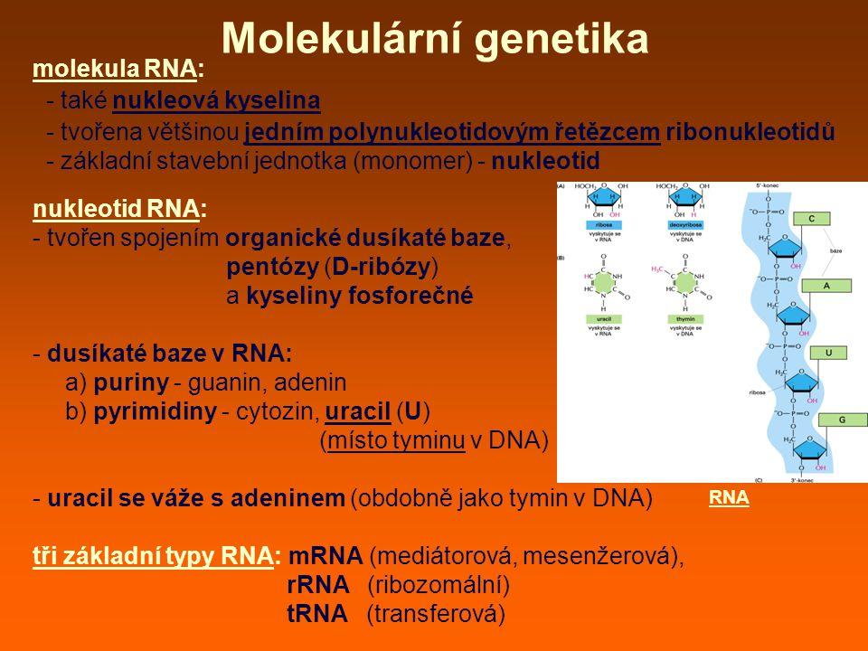Molekulární genetika molekula RNA: - také nukleová kyselina - tvořena většinou jedním polynukleotidovým řetězcem ribonukleotidů - základní stavební jednotka (monomer) - nukleotid nukleotid RNA: - tvořen spojením organické dusíkaté baze, pentózy (D-ribózy) a kyseliny fosforečné - dusíkaté baze v RNA: a) puriny - guanin, adenin b) pyrimidiny - cytozin, uracil (U) (místo tyminu v DNA) - uracil se váže s adeninem (obdobně jako tymin v DNA) tři základní typy RNA: mRNA (mediátorová, mesenžerová), rRNA (ribozomální) tRNA (transferová) RNA
