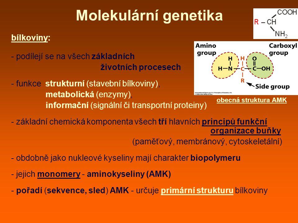 Molekulární genetika bílkoviny: - podílejí se na všech základních životních procesech - funkce strukturní (stavební bílkoviny), metabolická (enzymy), informační (signální či transportní proteiny) - základní chemická komponenta všech tří hlavních principů funkční organizace buňky (paměťový, membránový, cytoskeletální) - obdobně jako nukleové kyseliny mají charakter biopolymeru - jejich monomery - aminokyseliny (AMK) - pořadí (sekvence, sled) AMK - určuje primární strukturu bílkoviny obecná struktura AMK