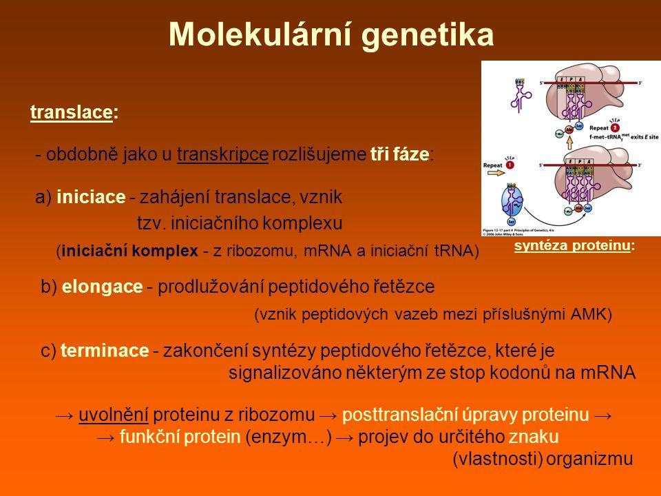 Molekulární genetika translace: - obdobně jako u transkripce rozlišujeme tři fáze: a) iniciace - zahájení translace, vznik tzv.