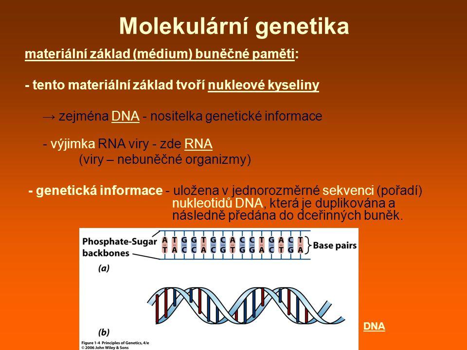 Molekulární genetika materiální základ (médium) buněčné paměti: - tento materiální základ tvoří nukleové kyseliny → zejména DNA - nositelka genetické informace - výjimka RNA viry - zde RNA (viry – nebuněčné organizmy) - genetická informace - uložena v jednorozměrné sekvenci (pořadí) nukleotidů DNA, která je duplikována a následně předána do dceřinných buněk.