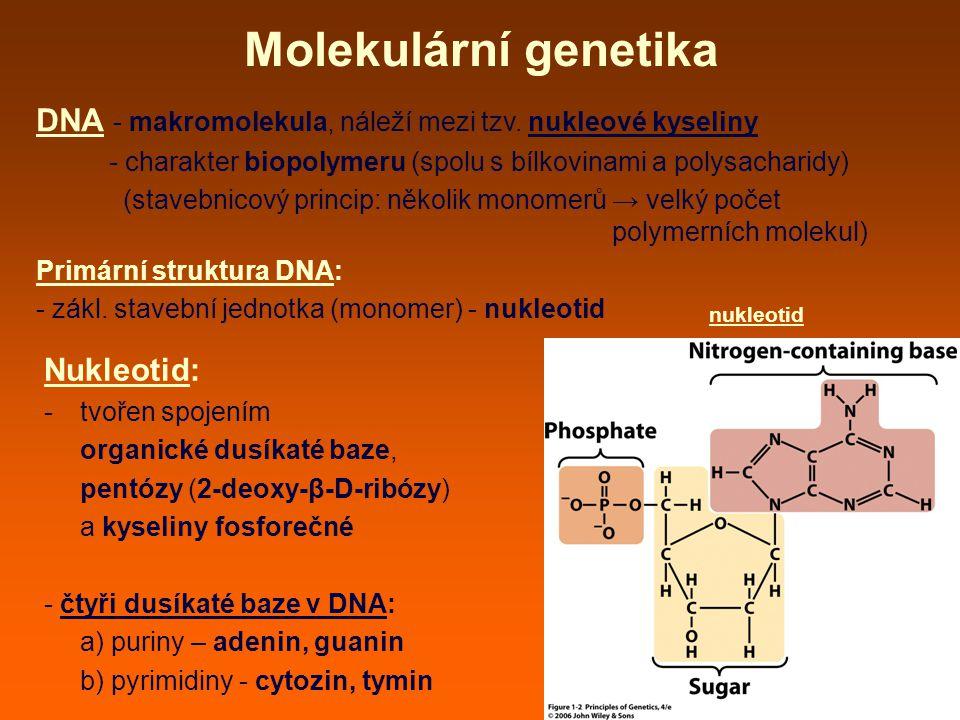 Molekulární genetika DNA - makromolekula, náleží mezi tzv.