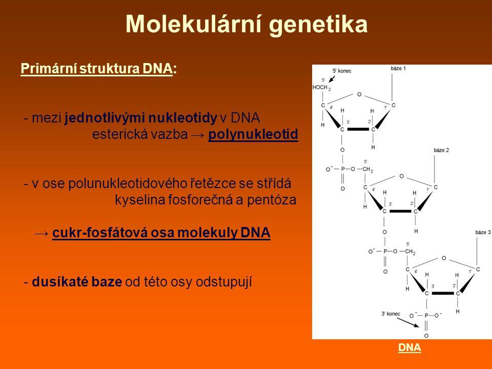 Molekulární genetika Primární struktura DNA: - zpravidla tvořena dvěma polynukleotidovými řetězci, které probíhají vedle sebe (dvouřetězcová DNA) – řetězce navzájem spojeny vodíkovými můstky mezi bazemi (vzájemné párování bazí) - sekvence nukleotidů (bazí) v řetězcích navzájem na sobě závislé - vždy párování purinové s pyrimidinovou bazí - podmíněno komplementárně sterickou strukturou molekuly purinu a pyrimidinu - adenin (A) se vždy páruje s tyminem (T) - guanin (G) se vždy páruje s cytozinem (C) → v molekule DNA množství A = T množství C = G DNA