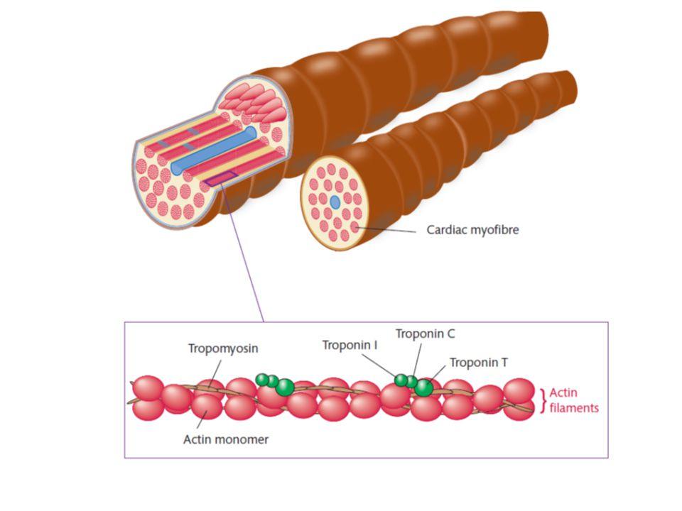 Troponiny  Troponiny  strukturní bílkoviny buněk příčně pruhovaného svalstva.