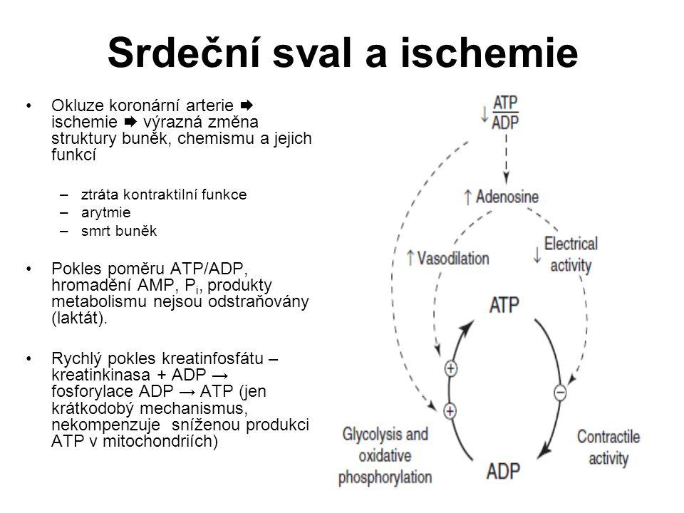 Srdeční sval a ischemie Okluze koronární arterie  ischemie  výrazná změna struktury buněk, chemismu a jejich funkcí –ztráta kontraktilní funkce –ary