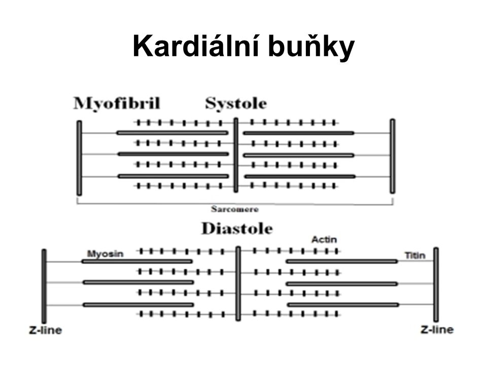 Kardiální buňky