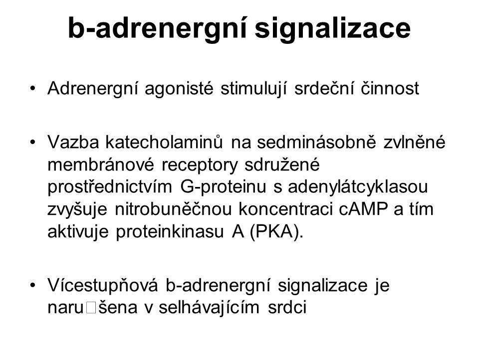 b-adrenergní signalizace Adrenergní agonisté stimulují srdeční činnost Vazba katecholaminů na sedminásobně zvlněné membránové receptory sdružené prost