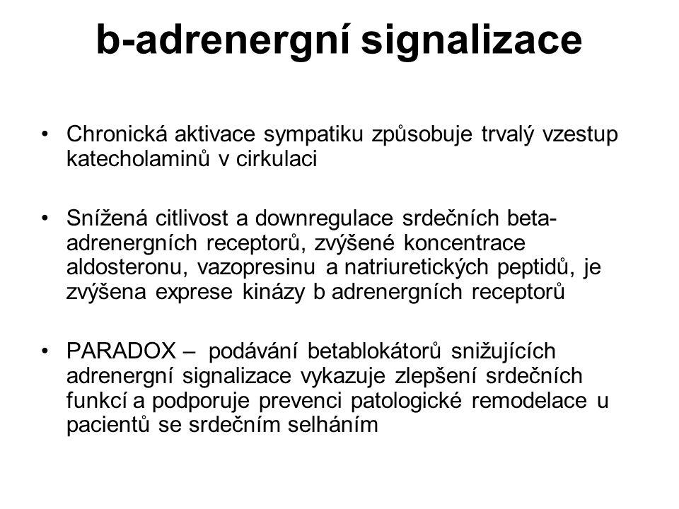 b-adrenergní signalizace Chronická aktivace sympatiku způsobuje trvalý vzestup katecholaminů v cirkulaci Snížená citlivost a downregulace srdečních be