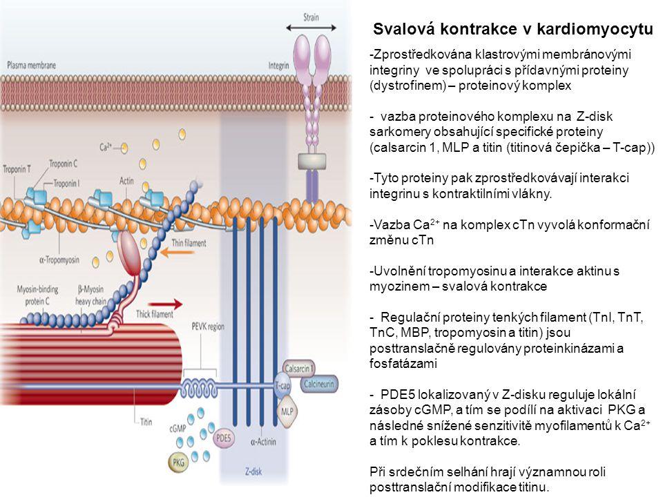 1.Vstup Ca 2+ do kardioyocytu přes Ca 2+ kanály stimuluje uvolnění Ca 2+ ze sarkoplazmatického retikula prostřednictvím ryanodinových receptorů RYR2 vyvolá aktivaci myofilamentů v sarkomeře 2.