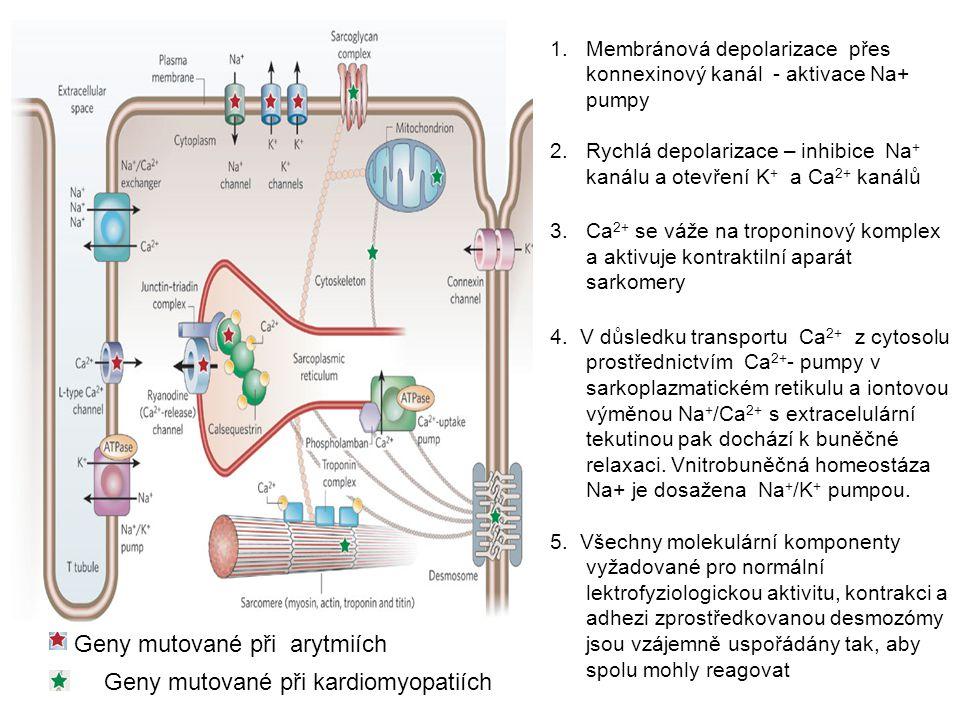 Geny mutované při arytmiích Geny mutované při kardiomyopatiích 1.Membránová depolarizace přes konnexinový kanál - aktivace Na+ pumpy 2.Rychlá depolari