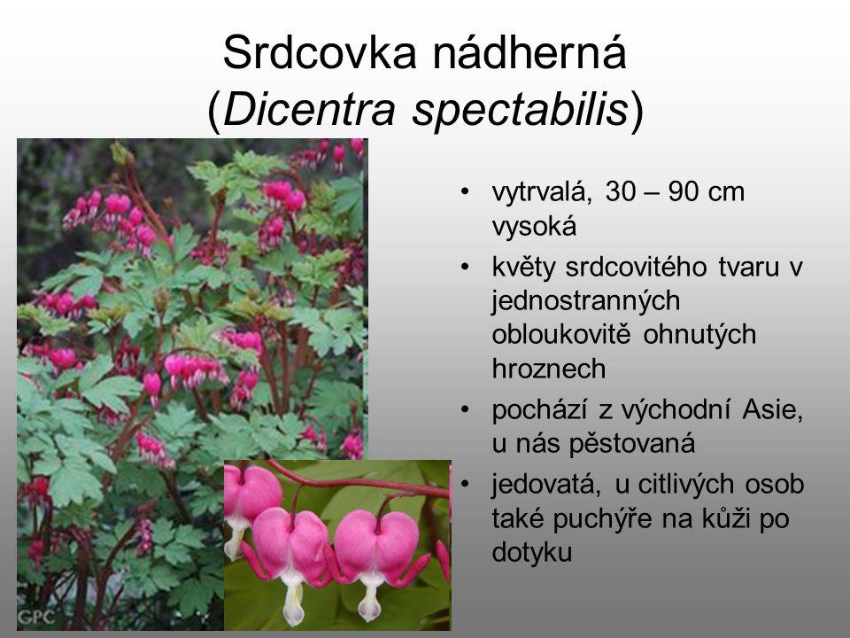 Srdcovka nádherná (Dicentra spectabilis) vytrvalá, 30 – 90 cm vysoká květy srdcovitého tvaru v jednostranných obloukovitě ohnutých hroznech pochází z