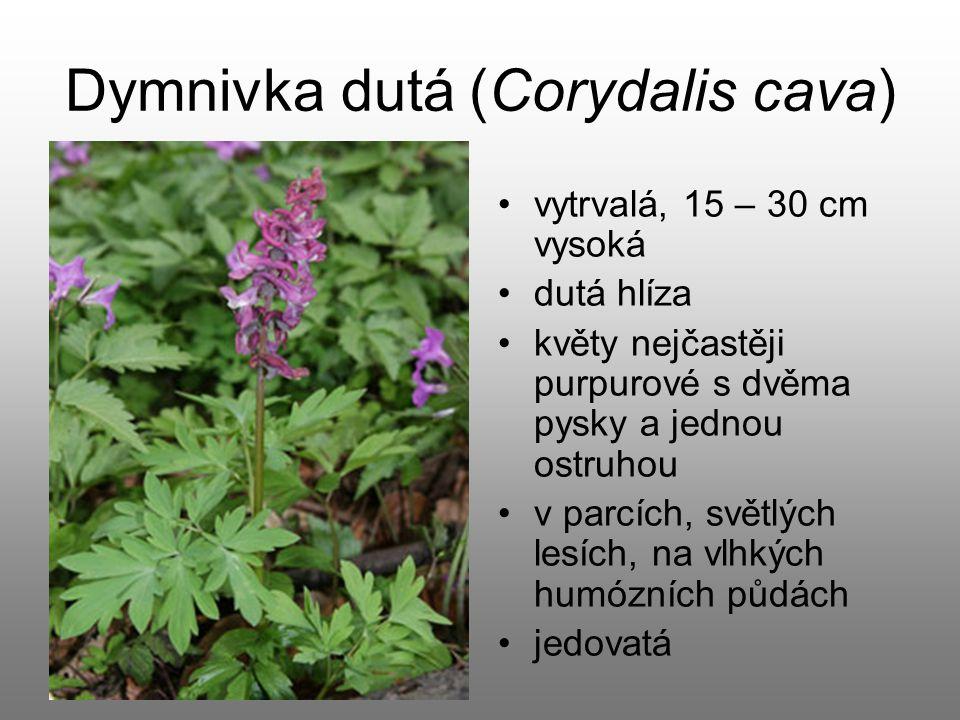 Dymnivka dutá (Corydalis cava) vytrvalá, 15 – 30 cm vysoká dutá hlíza květy nejčastěji purpurové s dvěma pysky a jednou ostruhou v parcích, světlých l