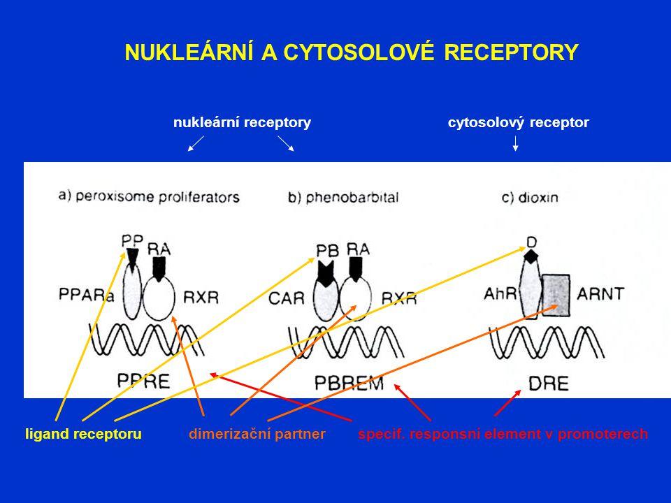 NUKLEÁRNÍ A CYTOSOLOVÉ RECEPTORY nukleární receptorycytosolový receptor dimerizační partnerspecif. responsní element v promoterechligand receptoru