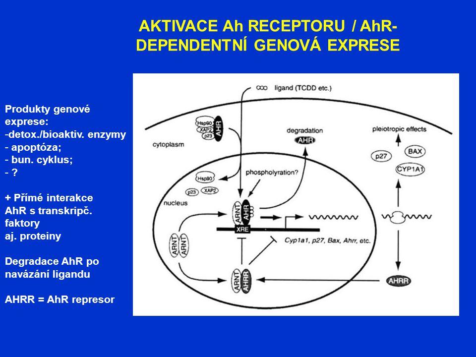 AKTIVACE Ah RECEPTORU / AhR- DEPENDENTNÍ GENOVÁ EXPRESE Produkty genové exprese: -detox./bioaktiv. enzymy - apoptóza; - bun. cyklus; - ? + Přímé inter
