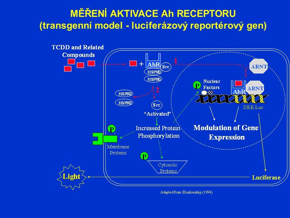 MĚŘENÍ AKTIVACE Ah RECEPTORU (transgenní model - luciferázový reportérový gen)