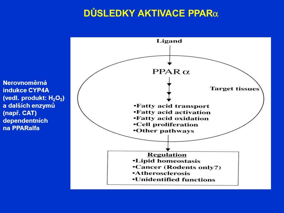 DŮSLEDKY AKTIVACE PPAR  Nerovnoměrná indukce CYP4A (vedl. produkt: H 2 O 2 ) a dalších enzymů (např. CAT) dependentních na PPARalfa