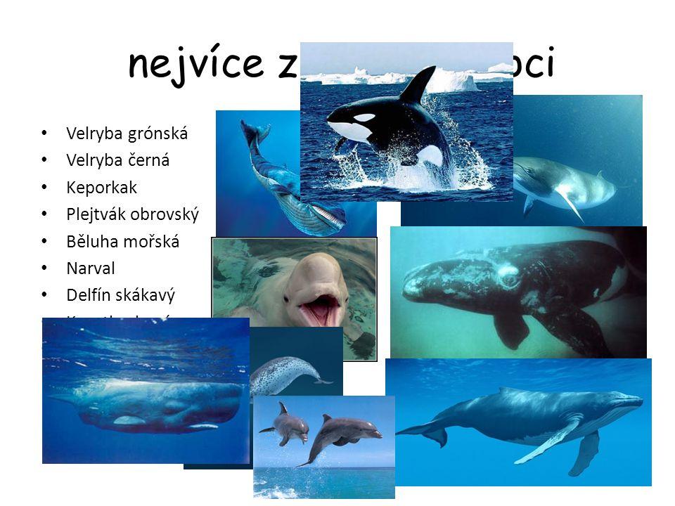 nejvíce známí zástupci Velryba grónská Velryba černá Keporkak Plejtvák obrovský Běluha mořská Narval Delfín skákavý Kosatka dravá Vorvaň