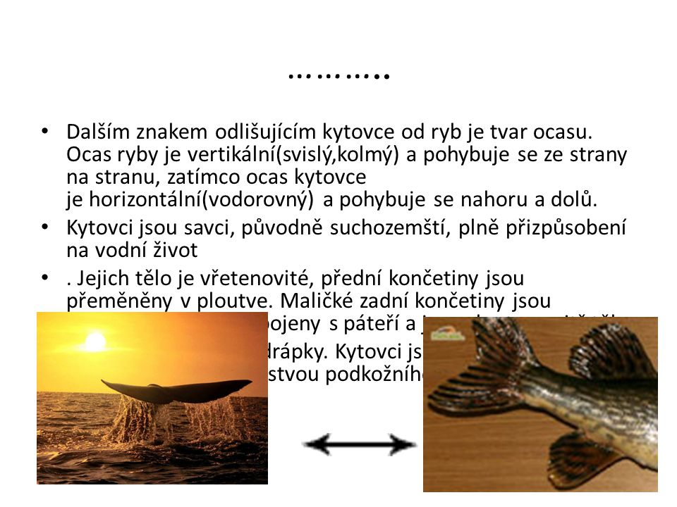 ……….. Dalším znakem odlišujícím kytovce od ryb je tvar ocasu. Ocas ryby je vertikální(svislý,kolmý) a pohybuje se ze strany na stranu, zatímco ocas ky