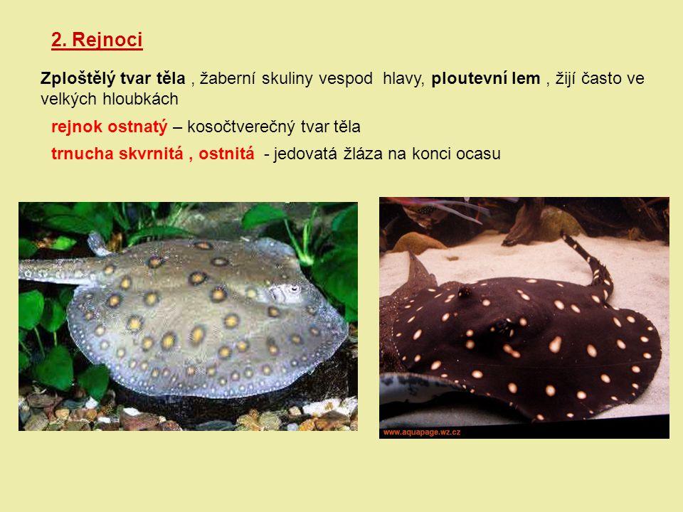 2. Rejnoci Zploštělý tvar těla, žaberní skuliny vespod hlavy, ploutevní lem, žijí často ve velkých hloubkách rejnok ostnatý – kosočtverečný tvar těla