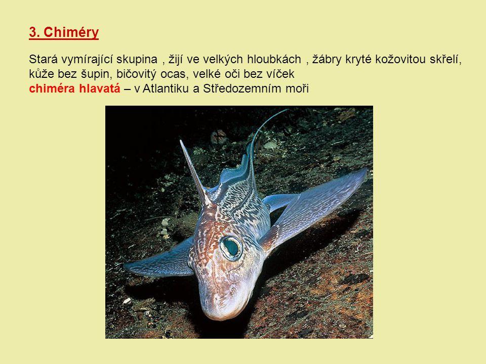 3. Chiméry Stará vymírající skupina, žijí ve velkých hloubkách, žábry kryté kožovitou skřelí, kůže bez šupin, bičovitý ocas, velké oči bez víček chimé