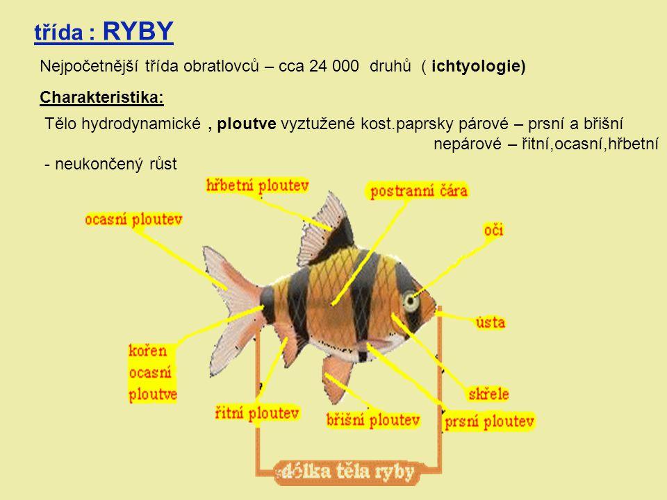 třída : RYBY Nejpočetnější třída obratlovců – cca 24 000 druhů ( ichtyologie) Charakteristika: Tělo hydrodynamické, ploutve vyztužené kost.paprsky pár