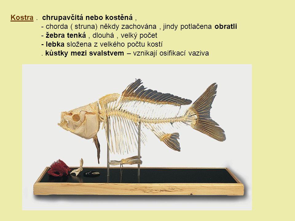 Kostra. chrupavčitá nebo kostěná, - chorda ( struna) někdy zachována, jindy potlačena obratli - žebra tenká, dlouhá, velký počet - lebka složena z vel