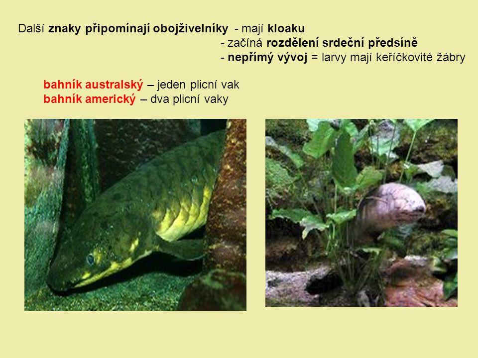 Další znaky připomínají obojživelníky - mají kloaku - začíná rozdělení srdeční předsíně - nepřímý vývoj = larvy mají keříčkovité žábry bahník australs