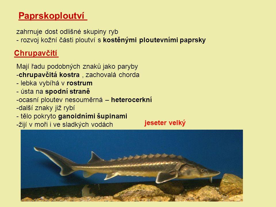 Paprskoploutví zahrnuje dost odlišné skupiny ryb - rozvoj kožní části ploutví s kostěnými ploutevními paprsky Chrupavčití Mají řadu podobných znaků ja
