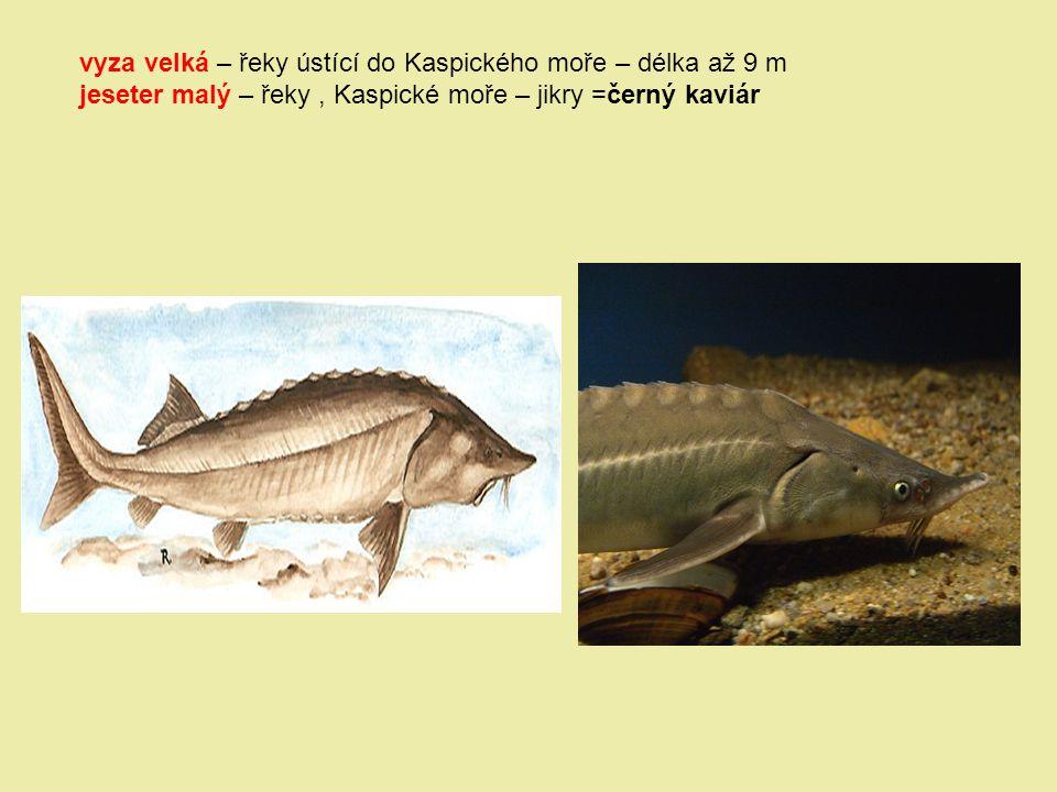 vyza velká – řeky ústící do Kaspického moře – délka až 9 m jeseter malý – řeky, Kaspické moře – jikry =černý kaviár