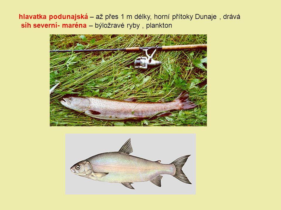 hlavatka podunajská – až přes 1 m délky, horní přítoky Dunaje, drává síh severní- maréna – býložravé ryby, plankton