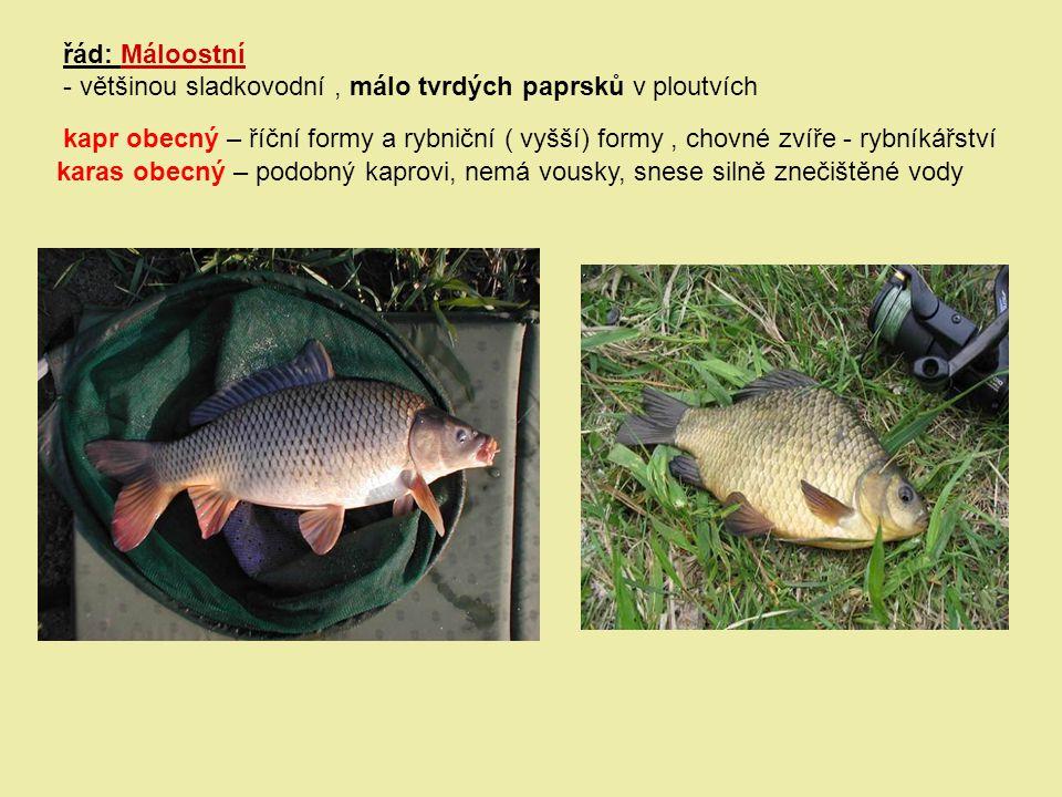 řád: Máloostní - většinou sladkovodní, málo tvrdých paprsků v ploutvích kapr obecný – říční formy a rybniční ( vyšší) formy, chovné zvíře - rybníkářst