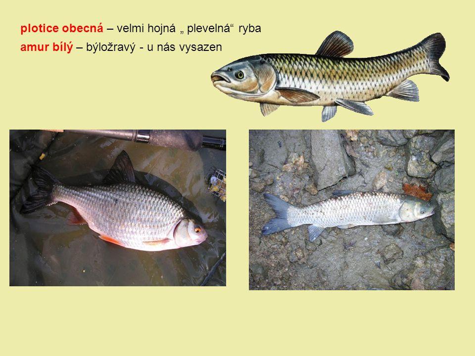"""plotice obecná – velmi hojná """" plevelná"""" ryba amur bílý – býložravý - u nás vysazen"""