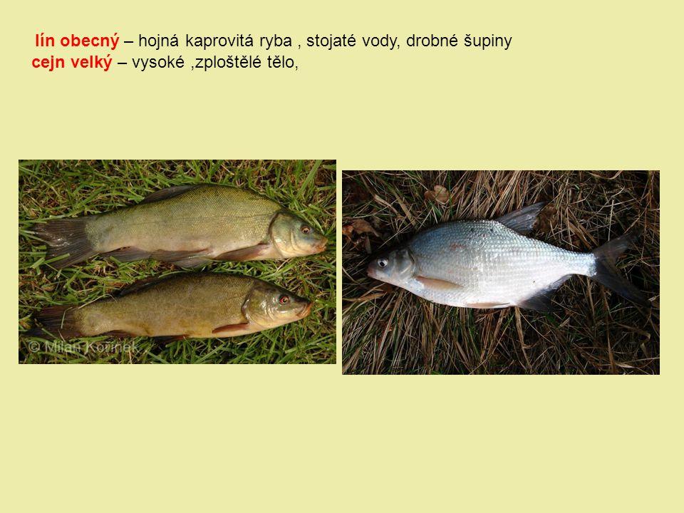 lín obecný – hojná kaprovitá ryba, stojaté vody, drobné šupiny cejn velký – vysoké,zploštělé tělo,
