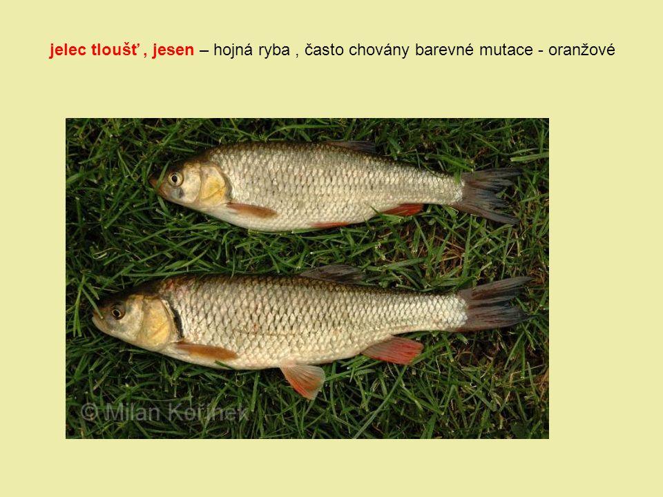 jelec tloušť, jesen – hojná ryba, často chovány barevné mutace - oranžové