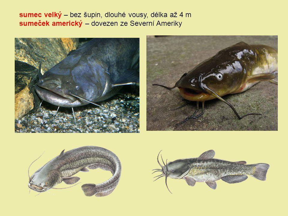 sumec velký – bez šupin, dlouhé vousy, délka až 4 m sumeček americký – dovezen ze Severní Ameriky