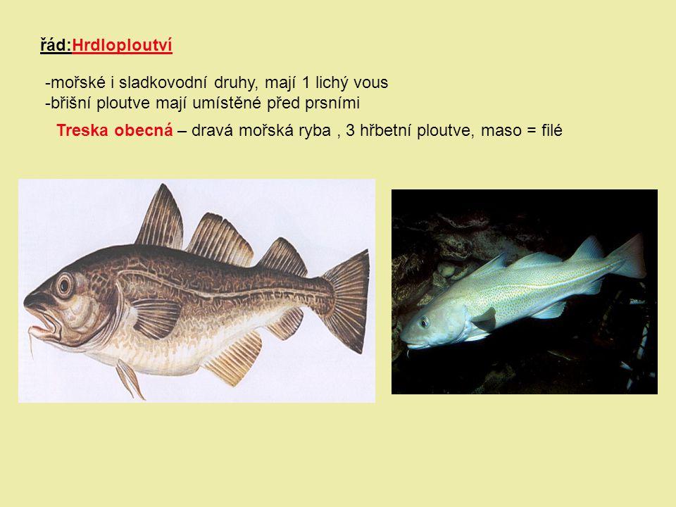 řád:Hrdloploutví -mořské i sladkovodní druhy, mají 1 lichý vous -břišní ploutve mají umístěné před prsními Treska obecná – dravá mořská ryba, 3 hřbetn