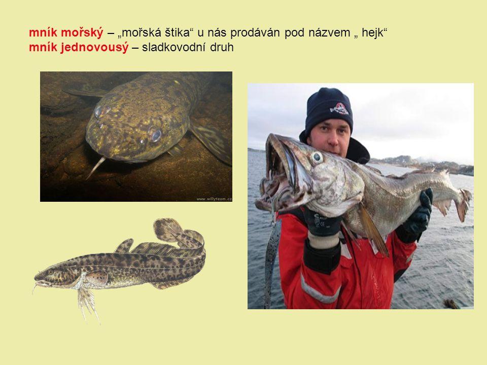 """mník mořský – """"mořská štika"""" u nás prodáván pod názvem """" hejk"""" mník jednovousý – sladkovodní druh"""